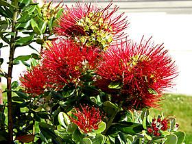 Метросидерос - рождественское дерево Австралии